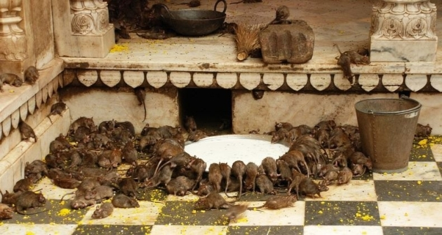 Karni Mata Temple, also Known as Rats Temple